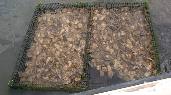 more mature oysters in their crates