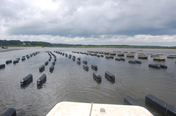 The nursery, there are 5.5 million oysters in those crates